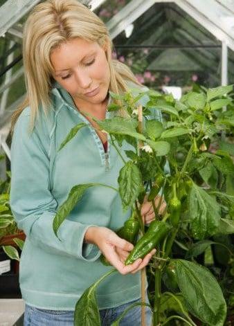hydroponic pepper gardening