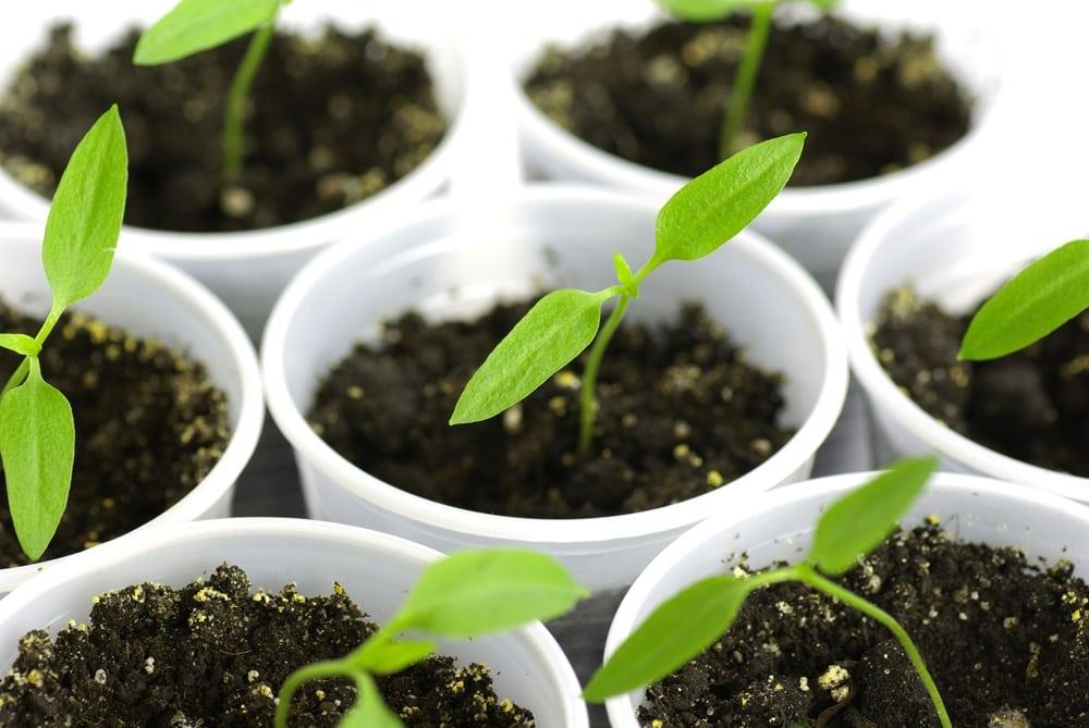 pepper seedlings indoors