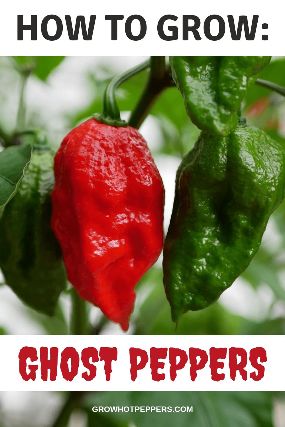 Ghost Pepper Plant: How to Grow One of the Hottest Peppers on Earth