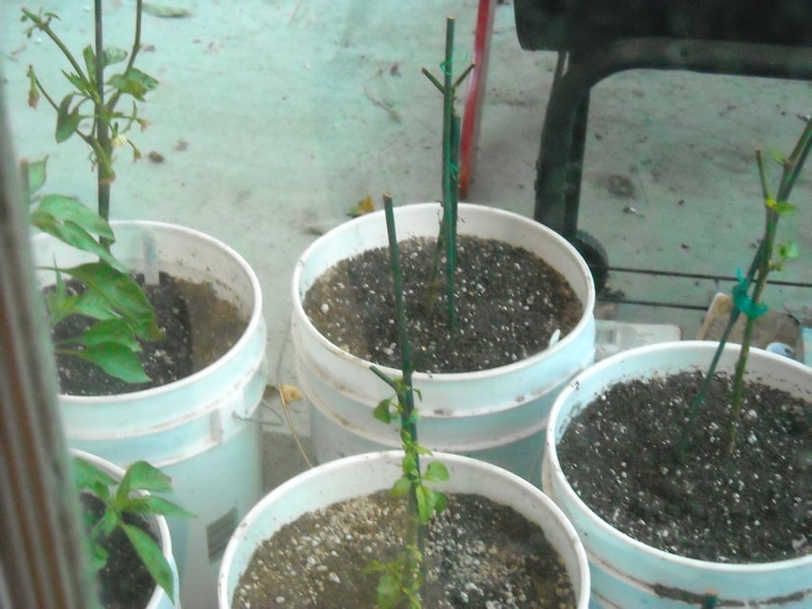 overwintering pepper plants in containers