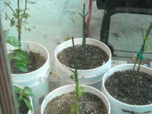 Overwintering pepper plants