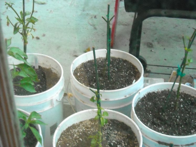 Overwintering pepper plants
