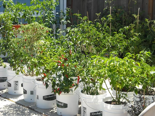 peppers growing in 5-gallon buckets