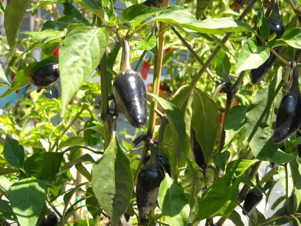 jalapeno pepper, purple jalapenos