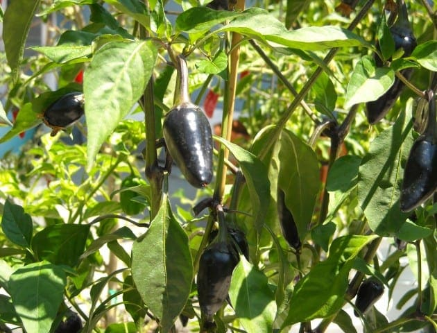 Purple jalapenos growing on the pepper plant.