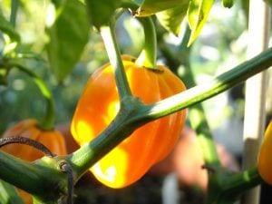 About Grow Hot Peppers, Pumpkin habanero on the vine