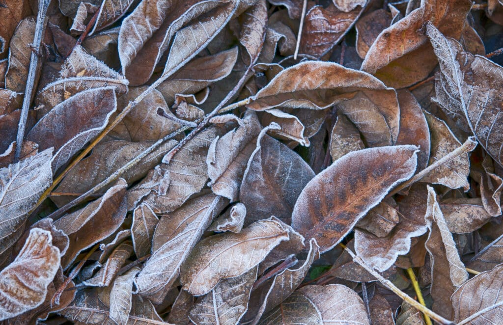 leaves in frost