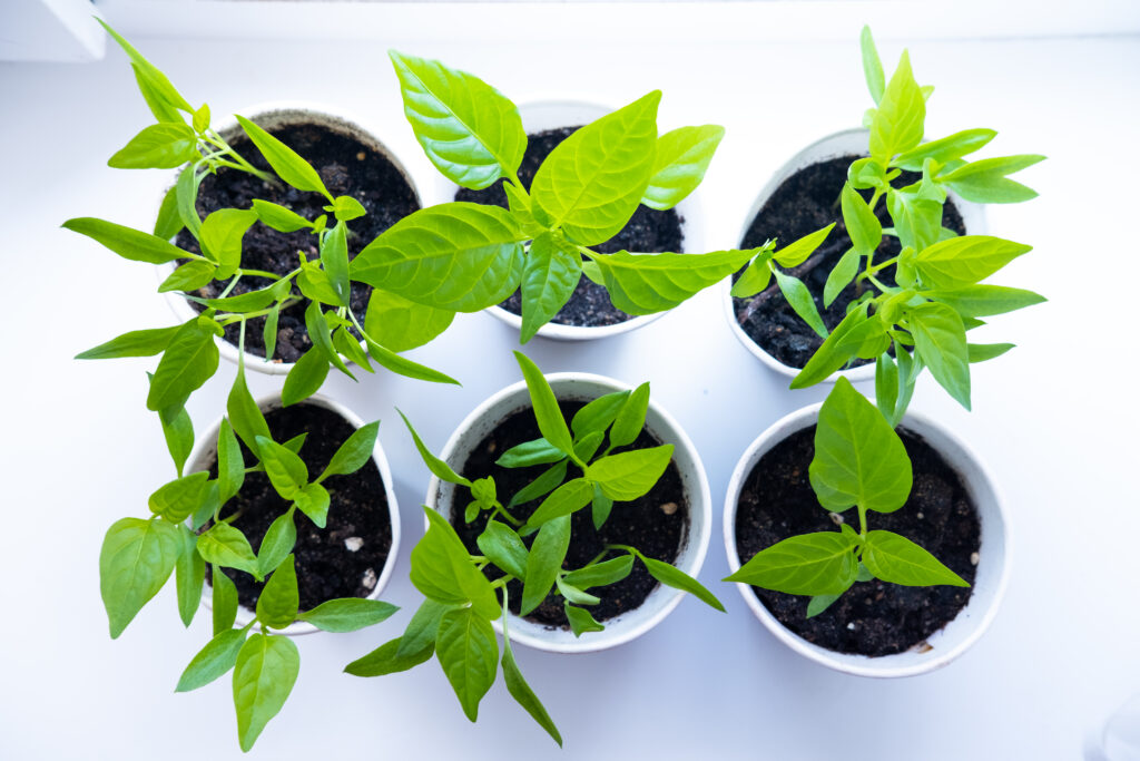 best soil for peppers in pots