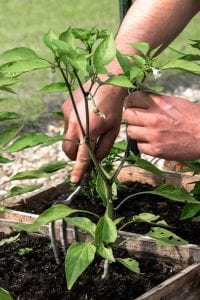 Fertilizing Your Chillies: A Sample Feeding Schedule