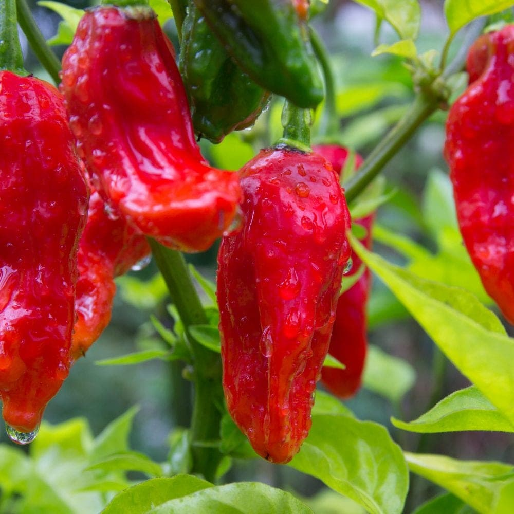 The Ghost Pepper Taste All Colors Of Rainbow