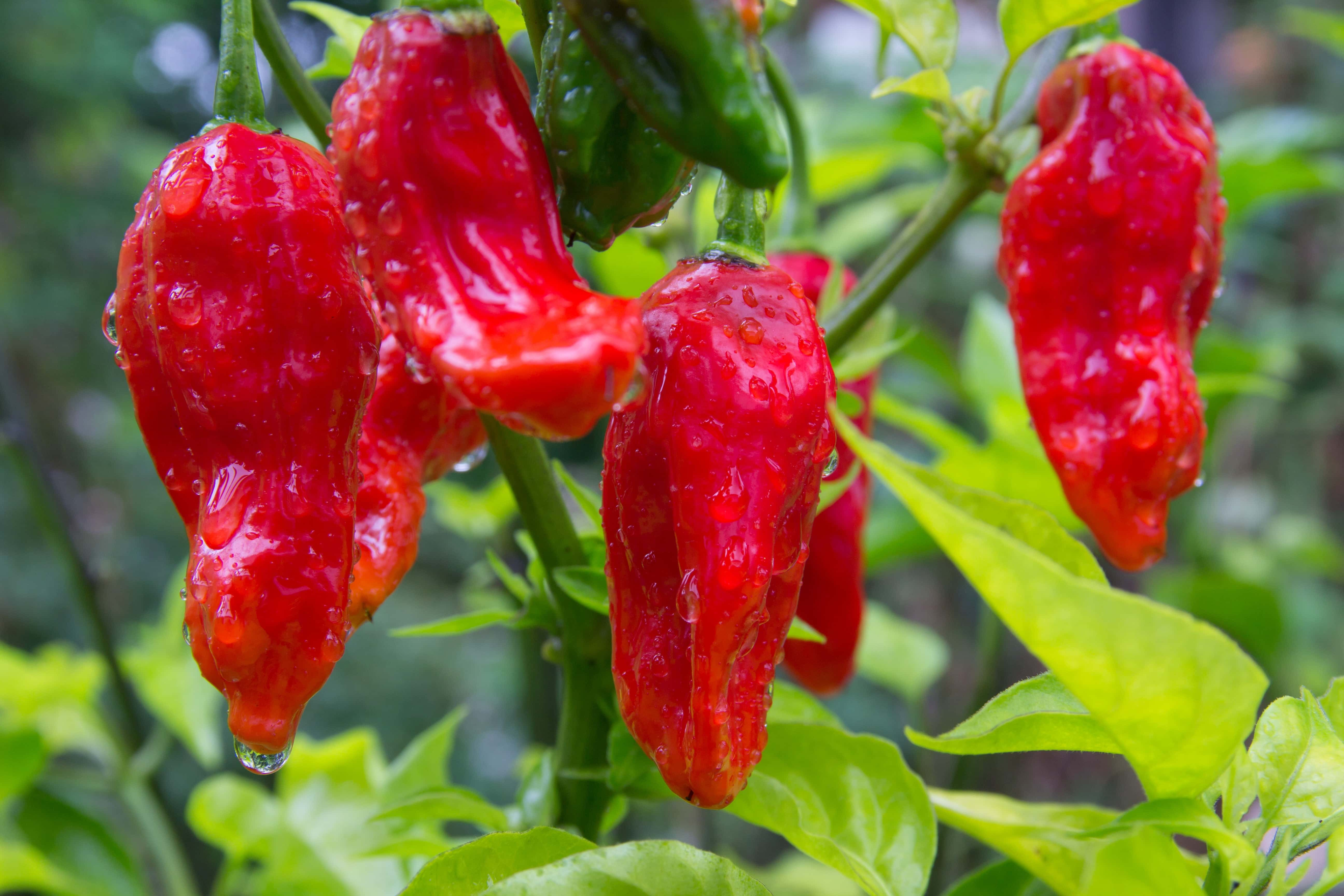 ghost peppers, bhut jolokias