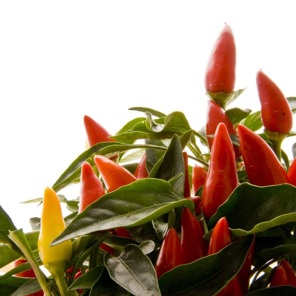 Hydroponic Peppers: 5 Resources That Will Help You Grow Without Soil