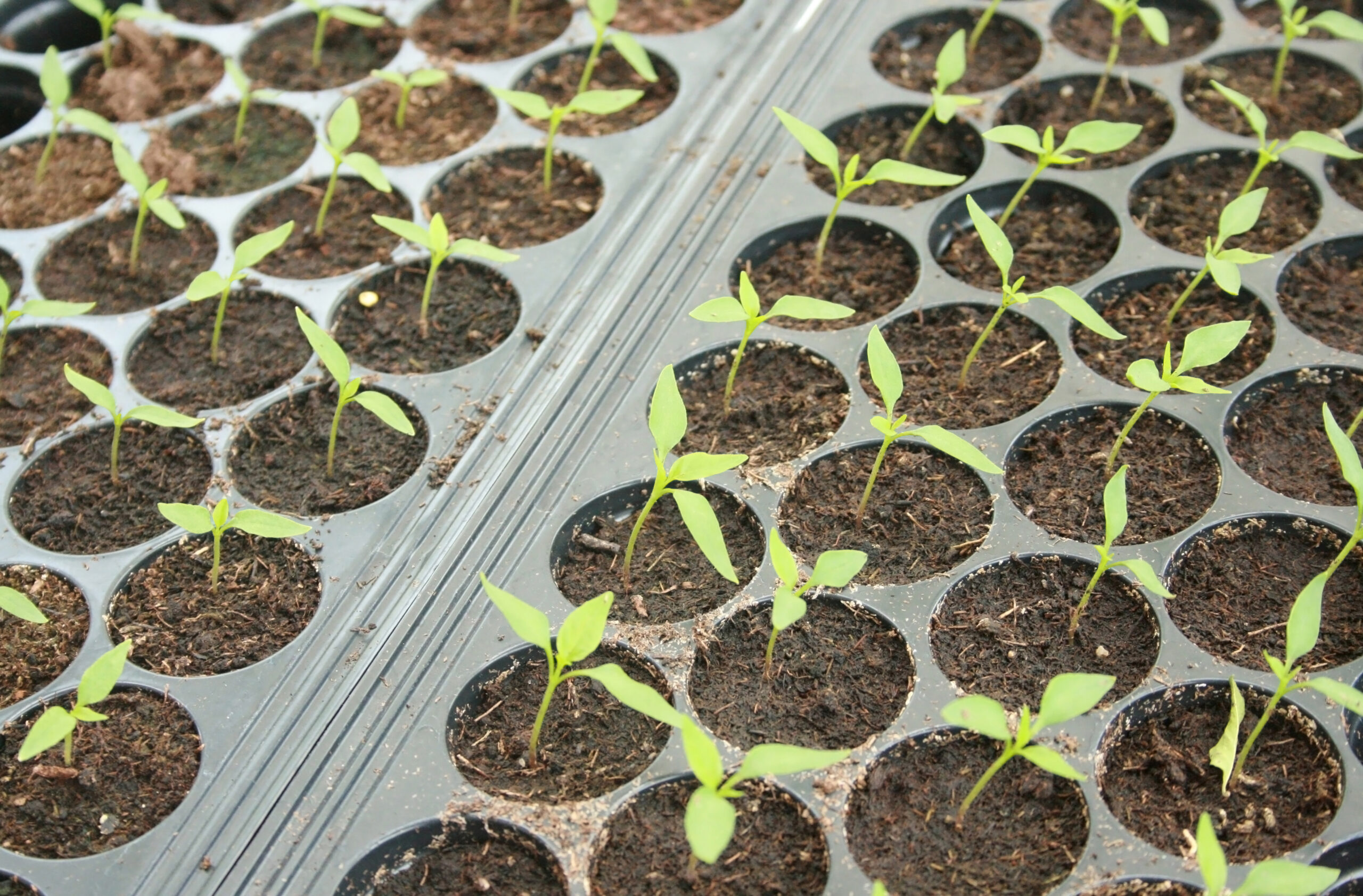 germinating peppers