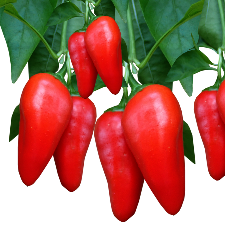 red peppers growing on plant