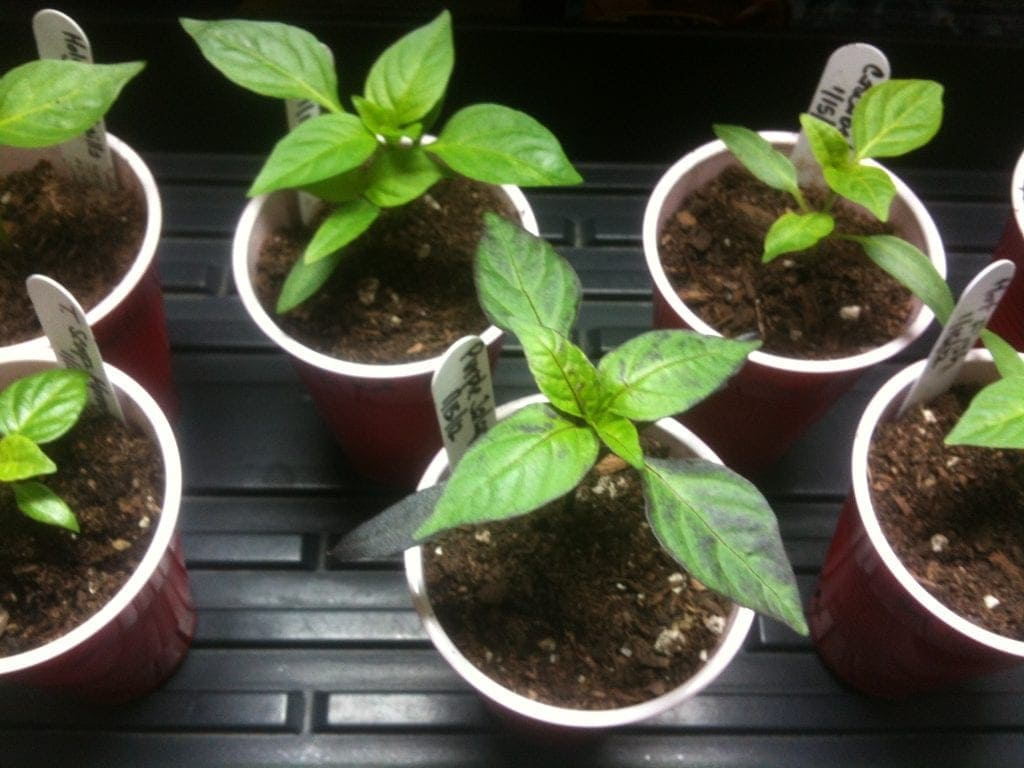 indoor grow lights for pepper seedlings