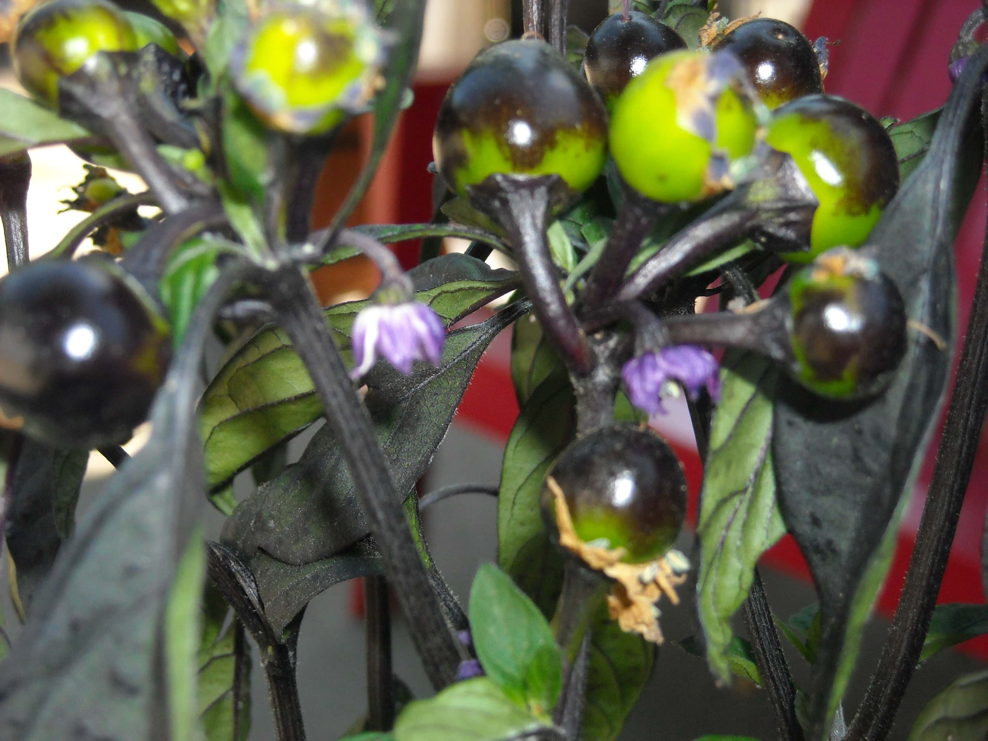 Black Pearl Peppers