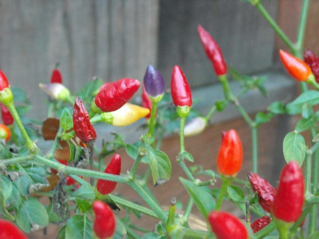 New Mexico Twilight Peppers