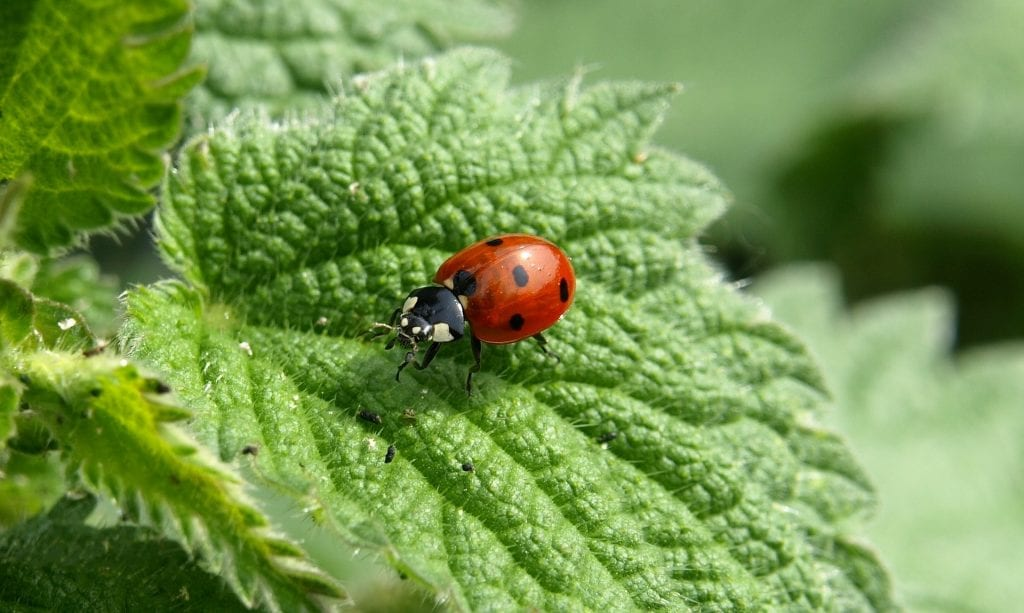 ladybugs help get rid of pepper plant pests