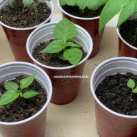 stunted pepper plants
