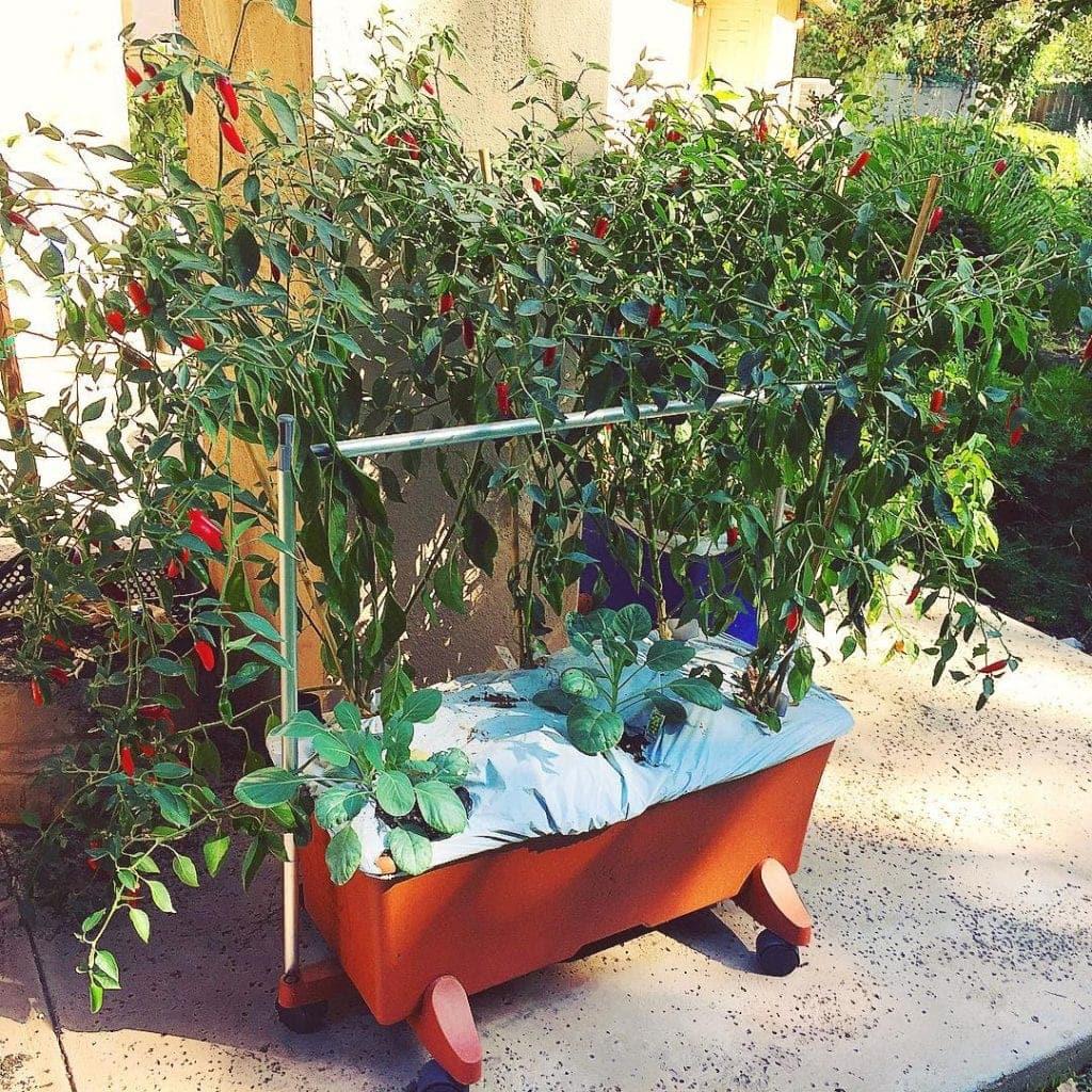 EarthBox growing pepper plants