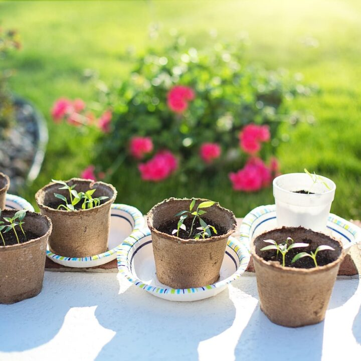 watering pepper seedlings from the bottom in paper bowls and biodegradable pots