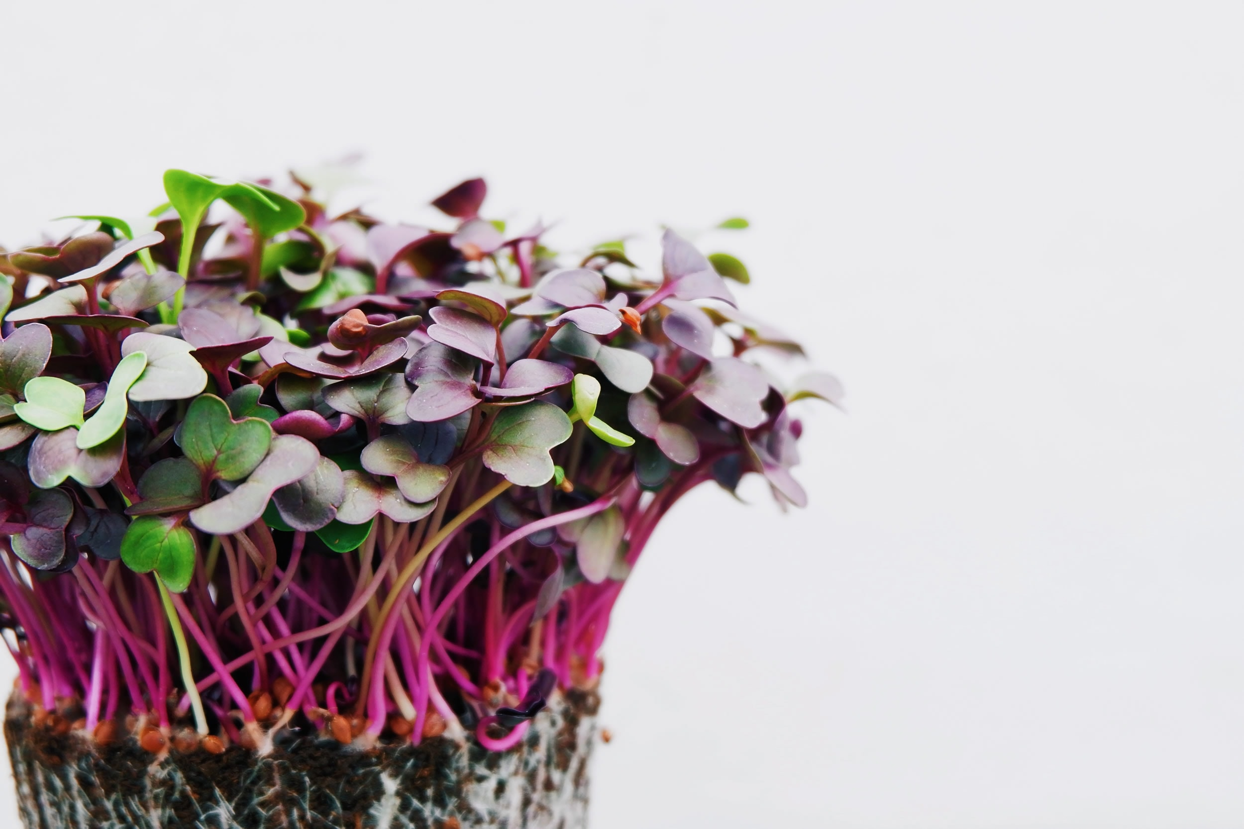 how to grow vegetables indoors for beginners: microgreens