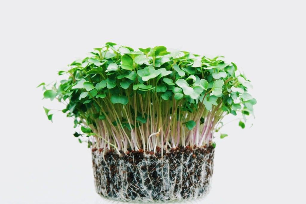 growing broccoli microgreens