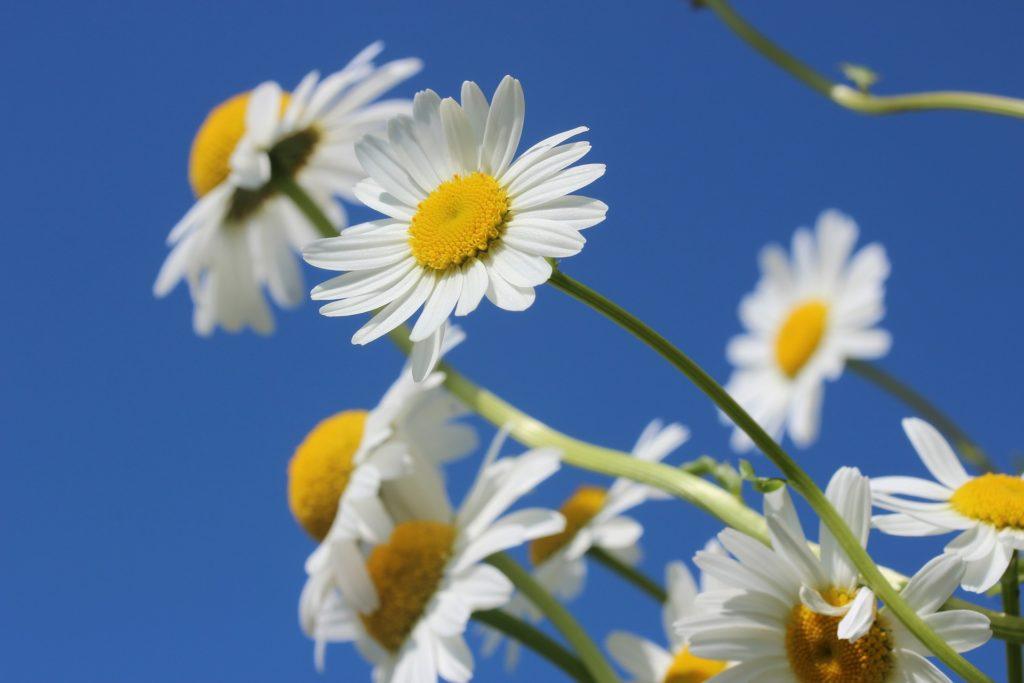 daisies against a blue sky