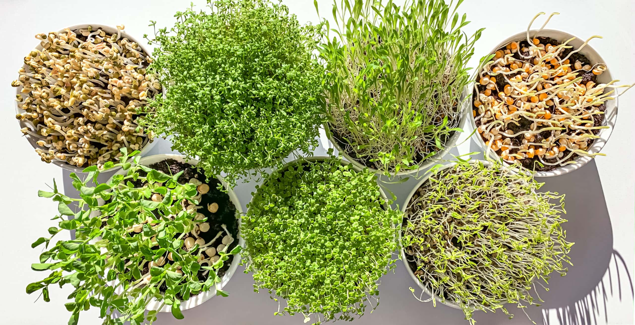 how to grow vegetables indoors for beginners: microgreens and sprouts