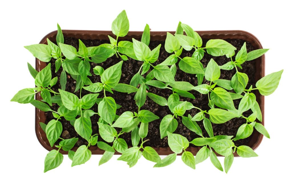 germinating pepper seedlings in a tray