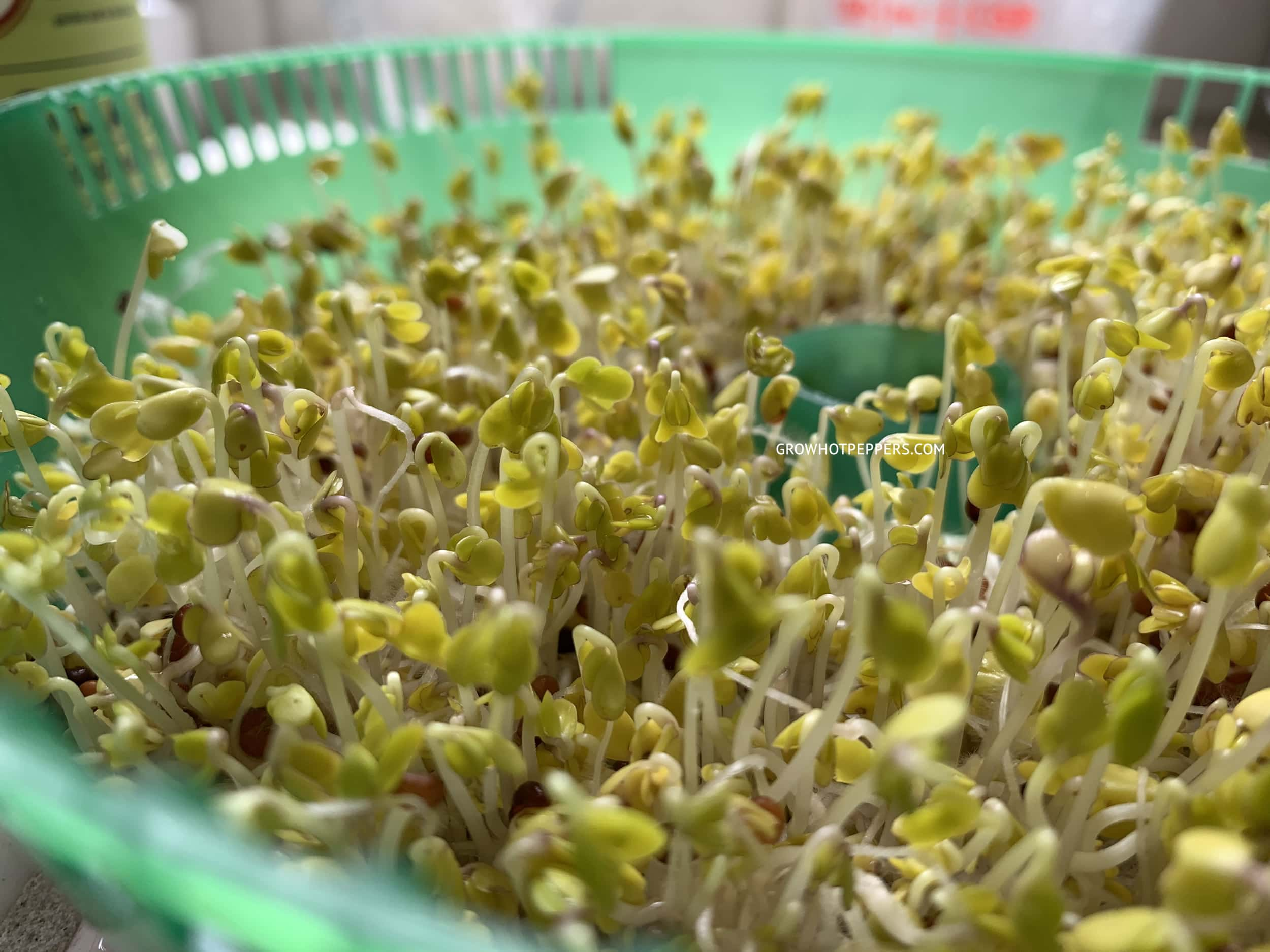 broccoli sprouts growing in tray
