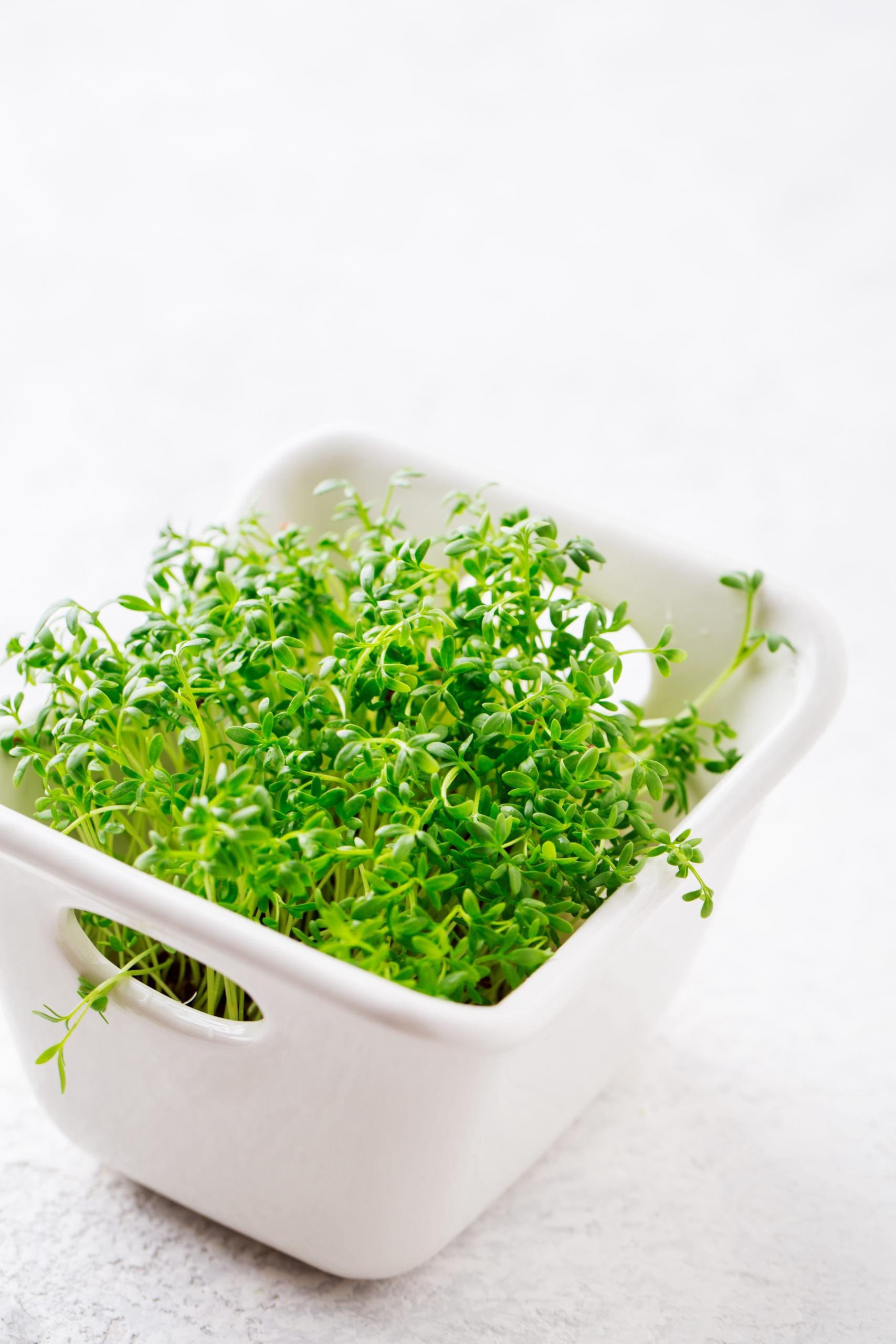 garden cress microgreens