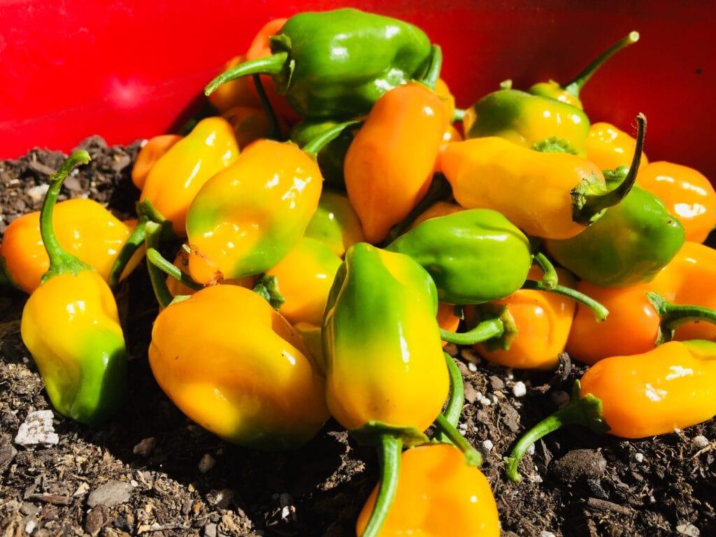 Habanero plant harvest