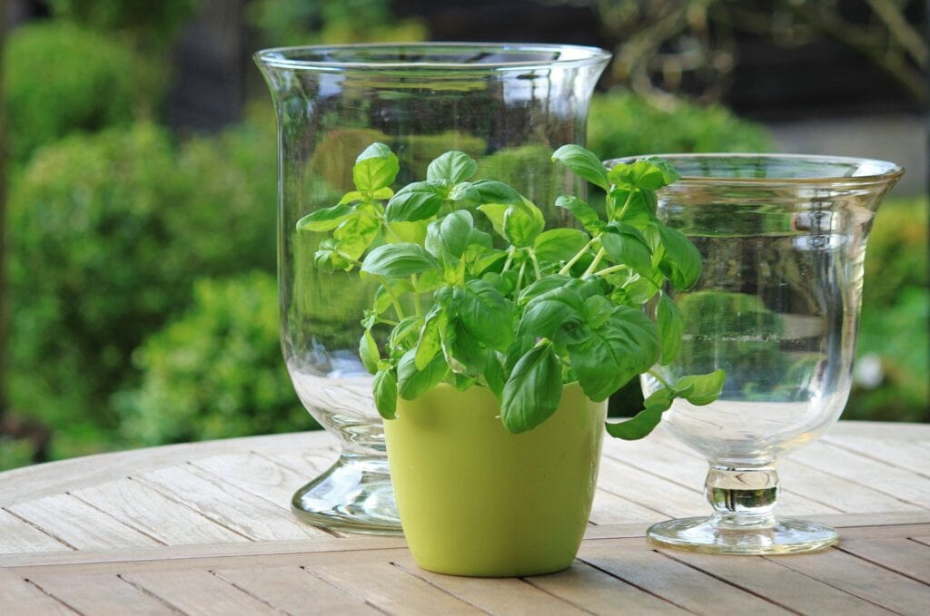 basil plant in container