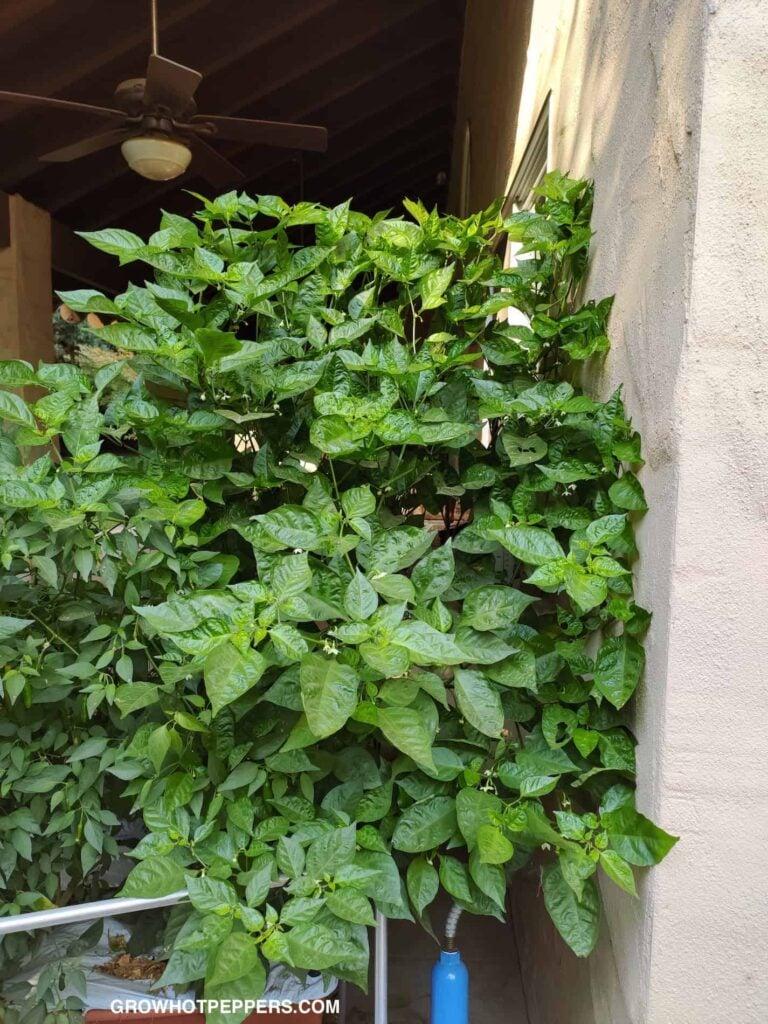 Carolina Reaper Plant in Earthbox