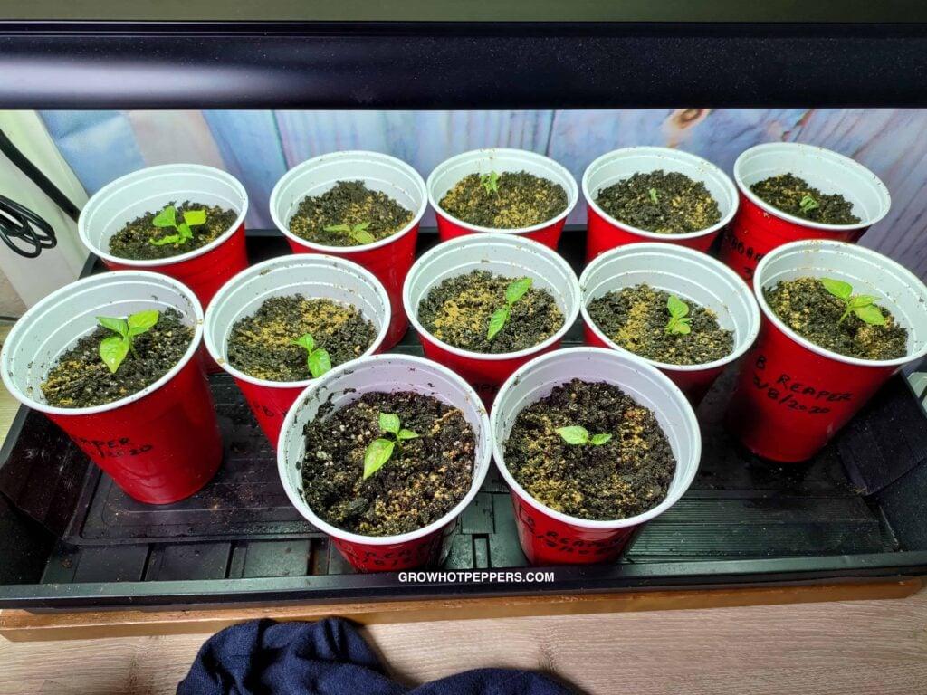 Carolina Reaper seedlings growing in red solo cups