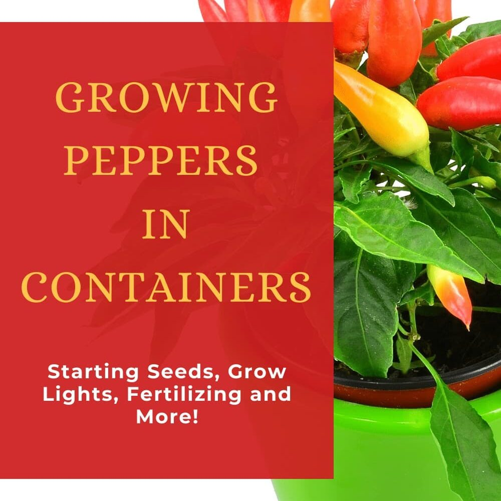 growing peppers in containers pinterest graphic