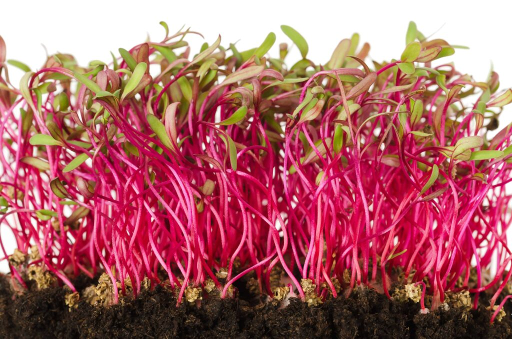 different types of microgreens, red beet microgreens