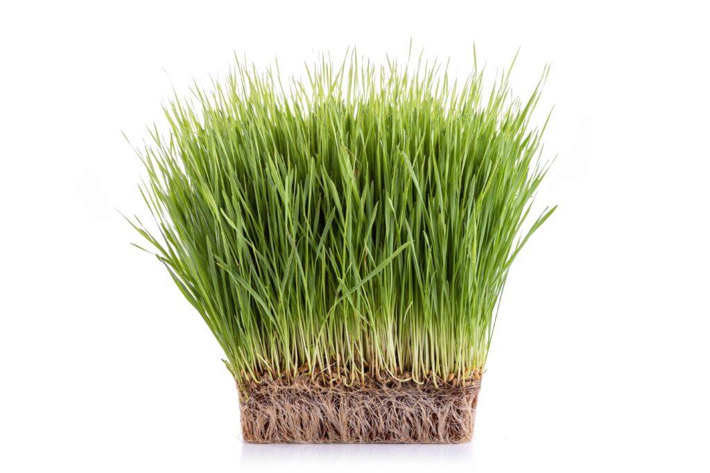 Do microgreens regrow after cutting, wheatgrass