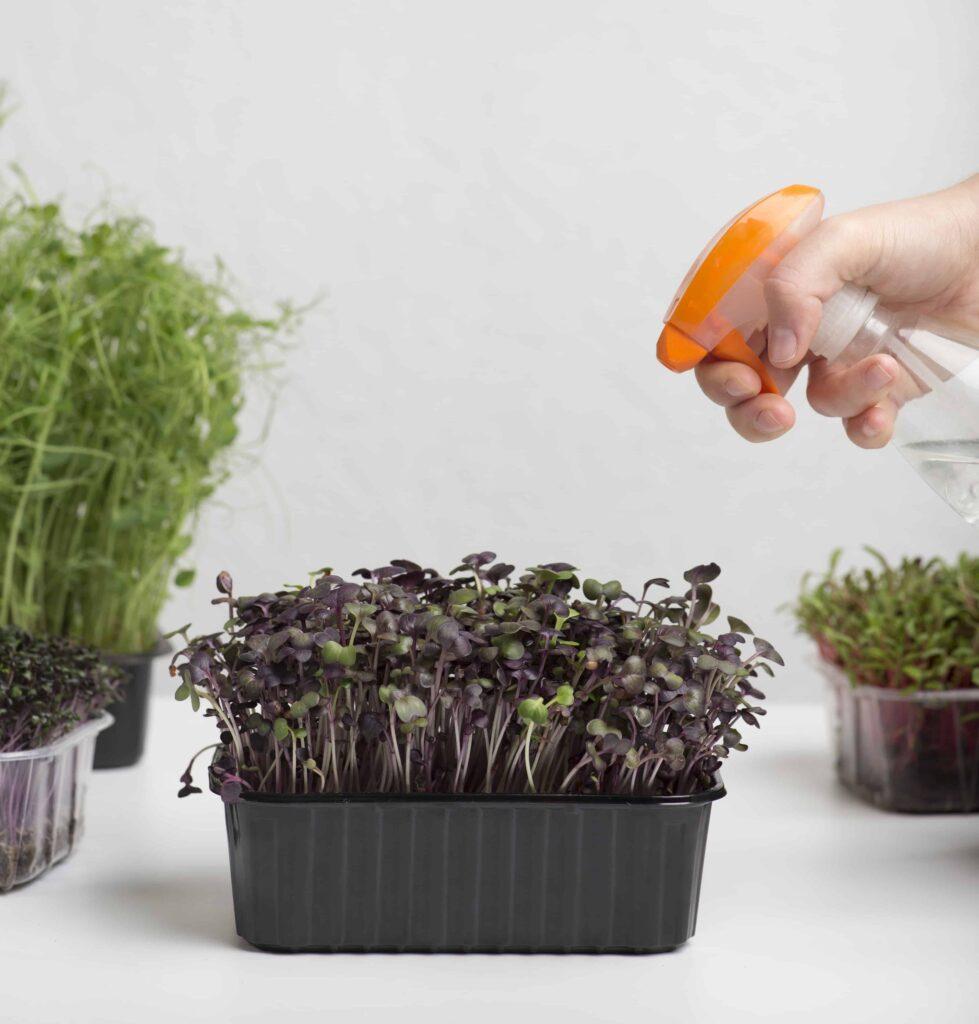 how to water microgreens