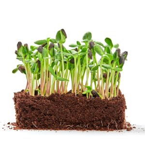 How to Grow Microgreens Indoors: A No-Fail Guide for Black Thumbs
