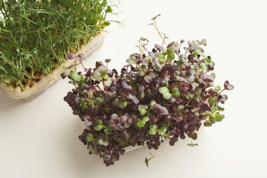 types of microgreens, cabbage microgreens