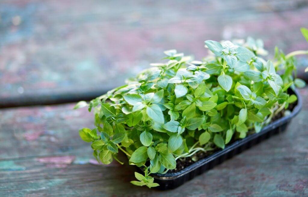 what are microgreens, tray of basil microgreens