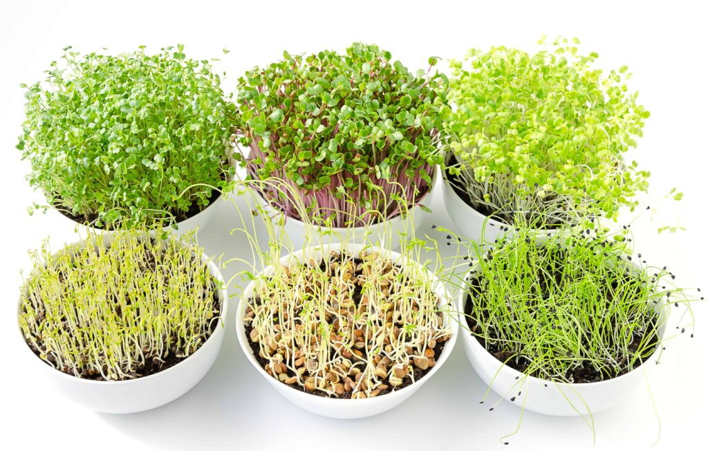 microgreens vs baby greens, 6 bowls of microgreens