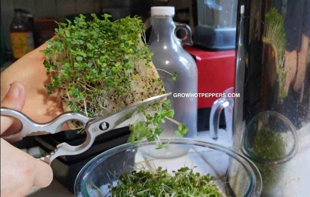 harvesting microgreens on hydroponic grow pad