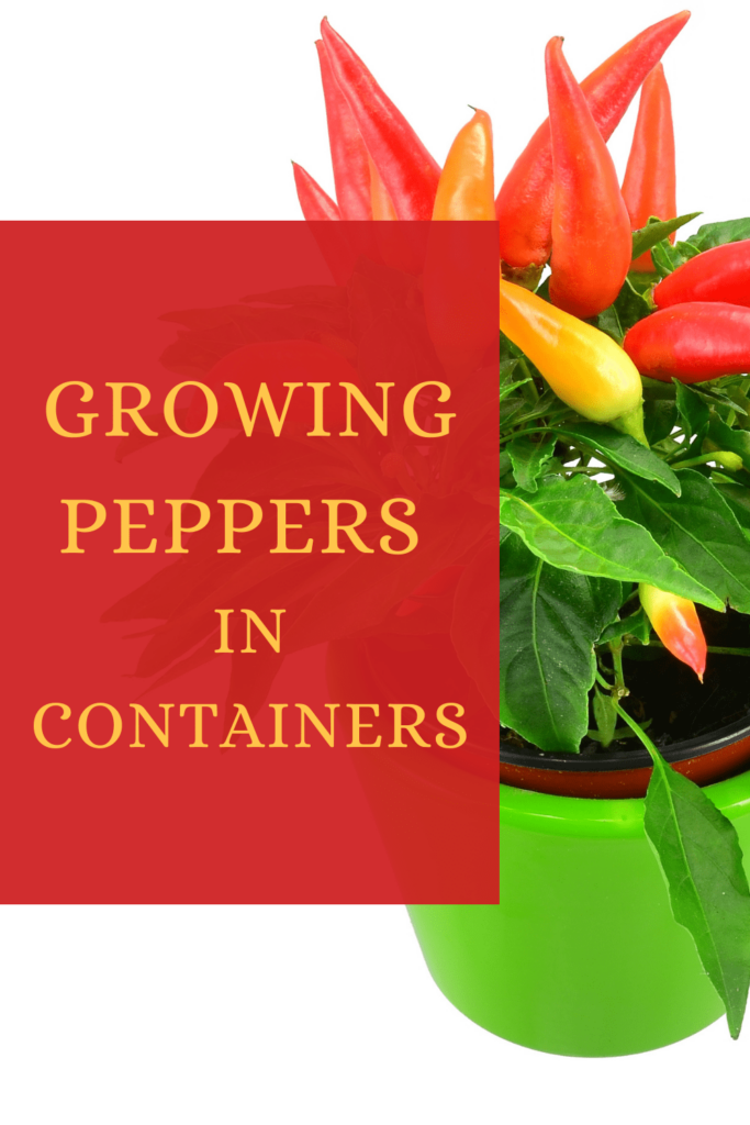 growing peppers in containers graphic