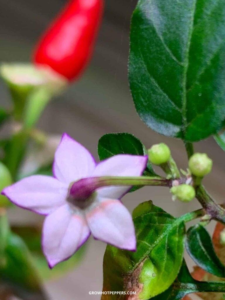 purple pepper flower and pepper buds
