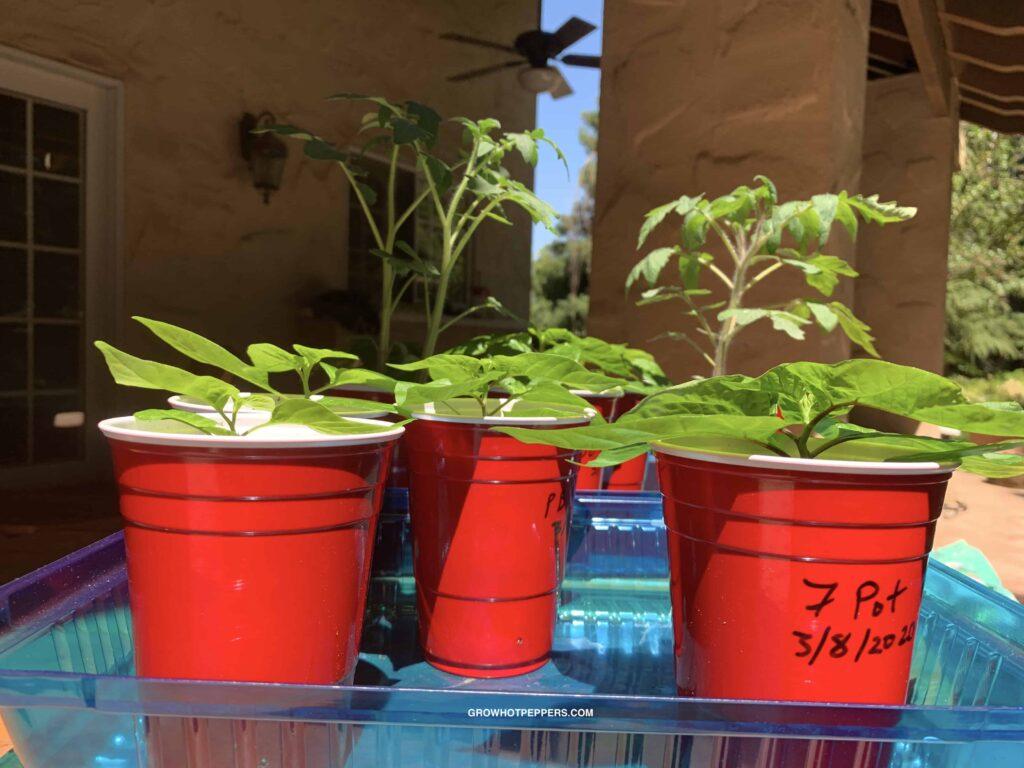 hardening off pepper plants outside
