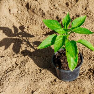 Hardening off Pepper Plants: How to (Safely) Prepare Seedlings for the Move Outdoors