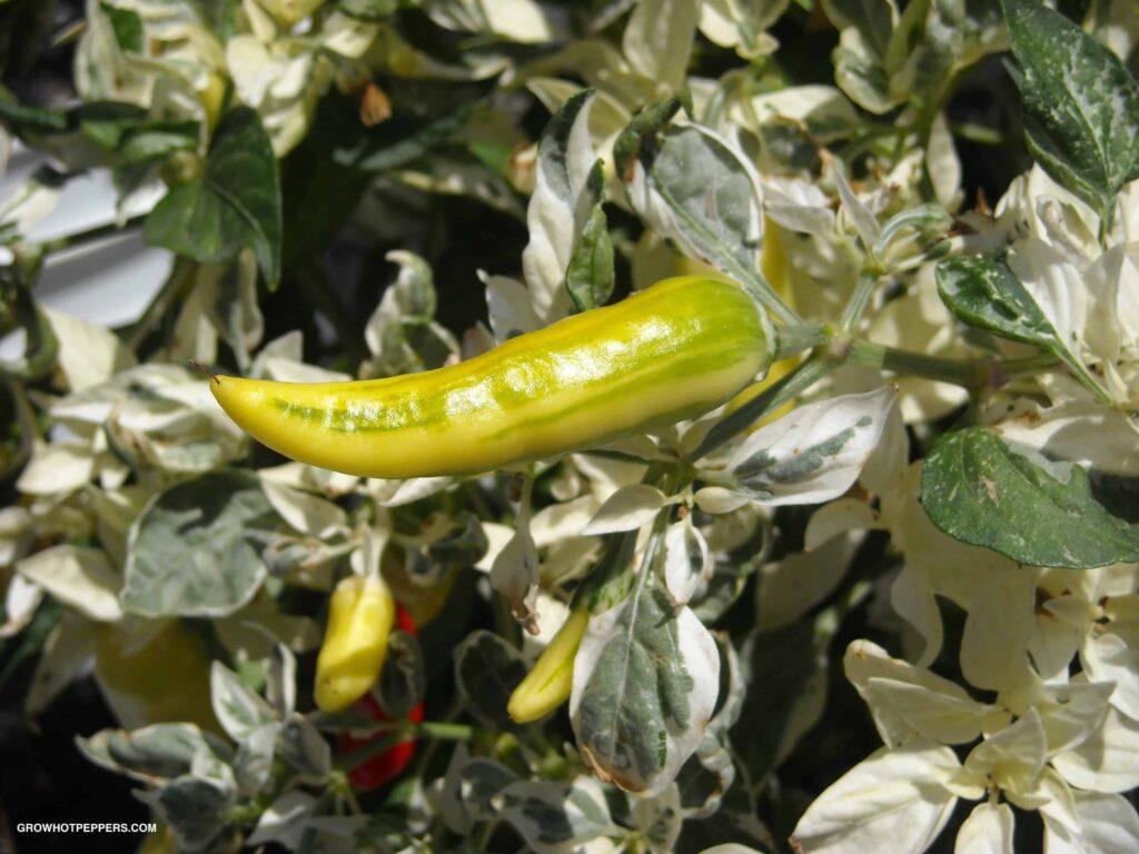hot fish pepper plant